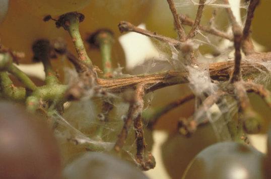 虫 成虫 ブドウ